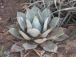 Parry's Agave (Agave parryi var. parryi) at Tagawa Gardens