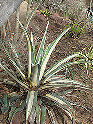 White Striped Agave (Agave americana var. medio-picta) at Tagawa Gardens