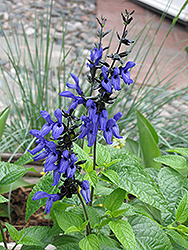 Black And Blue Anise Sage (Salvia guaranitica 'Black And Blue') at Tagawa Gardens