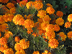 Hero Orange Marigold (Tagetes patula 'Hero Orange') at Tagawa Gardens