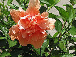 Double Peach Hibiscus (Hibiscus rosa-sinensis 'Double Peach') at Tagawa Gardens
