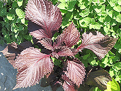Purple Shiso Perilla (Perilla frutescens 'Purple Shiso') at Tagawa Gardens