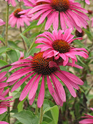Ruby Star Coneflower (Echinacea purpurea 'Rubinstern') at Tagawa Gardens