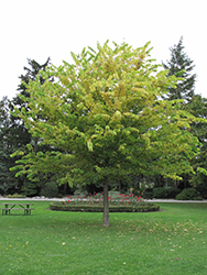 Common Hackberry (Celtis occidentalis) at Tagawa Gardens