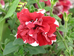 Madness Red And White Double Petunia (Petunia 'Madness Red And White Double') at Tagawa Gardens