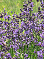English Lavender (Lavandula angustifolia) at Tagawa Gardens