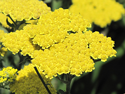 Moonshine Yarrow (Achillea 'Moonshine') at Tagawa Gardens