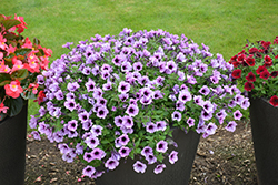 Supertunia® Bordeaux Petunia (Petunia 'Supertunia Bordeaux') at Tagawa Gardens