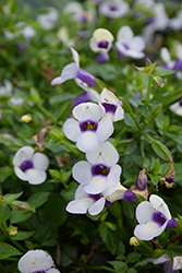 Grape-O-Licious Torenia (Torenia 'Grape-O-Licious') at Tagawa Gardens
