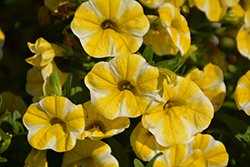 Superbells® Lemon Slice Calibrachoa (Calibrachoa 'Superbells Lemon Slice') at Tagawa Gardens