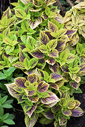 Gays Delight Coleus (Solenostemon scutellarioides 'Gays Delight') at Tagawa Gardens