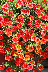 Can-Can® Terracotta Calibrachoa (Calibrachoa 'Can-Can Terracotta') at Tagawa Gardens