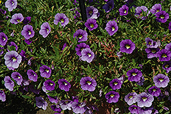 Callie® Light Blue Calibrachoa (Calibrachoa 'Callie Light Blue') at Tagawa Gardens