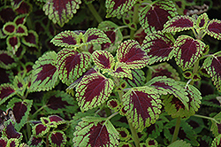 Tell Tale Heart Coleus (Solenostemon scutellarioides 'Tell Tale Heart') at Tagawa Gardens