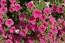 Supertunia® Picasso In Pink Petunia (Petunia 'Supertunia Picasso In Pink') at Tagawa Gardens