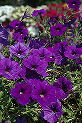 Supertunia® Mini Blue Petunia (Petunia 'Supertunia Mini Blue') at Tagawa Gardens