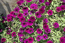 Littletunia Purple Blue Petunia (Petunia 'Littletunia Purple Blue') at Tagawa Gardens