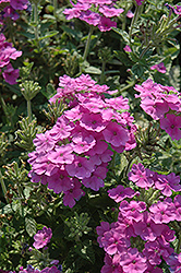Empress™ Flair Lavender Blue Verbena (Verbena 'Empress Flair Lavender Blue') at Tagawa Gardens