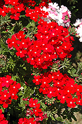 Lanai® Scarlet with Eye Verbena (Verbena 'Lanai Scarlet with Eye') at Tagawa Gardens