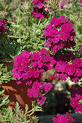 Aztec Magic Plum Verbena (Verbena 'Aztec Magic Plum') at Tagawa Gardens