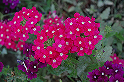 Empress™ Hot Pink Charme Verbena (Verbena 'Empress Hot Pink Charme') at Tagawa Gardens