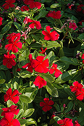 Titan™ Dark Red Vinca (Catharanthus roseus 'Titan Dark Red') at Tagawa Gardens