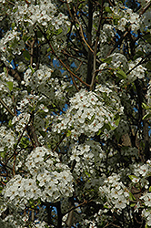 Chanticleer Ornamental Pear (Pyrus calleryana 'Chanticleer') at Tagawa Gardens