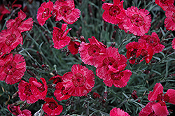 Eastern Star Pinks (Dianthus 'Red Dwarf') at Tagawa Gardens