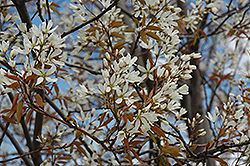 Autumn Brilliance Serviceberry (Amelanchier x grandiflora 'Autumn Brilliance (tree form)') at Tagawa Gardens