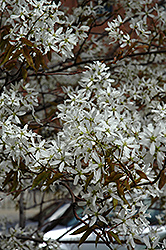 Spring Flurry Serviceberry (Amelanchier laevis 'JFS-Arb') at Tagawa Gardens