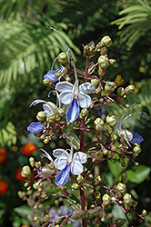 Blue Butterfly Plant (Clerodendrum ugandense) at Tagawa Gardens