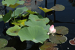 Lotus empress (Nelumbo 'Russian Red') at Tagawa Gardens