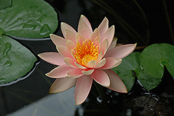 Colorado Hardy Water Lily (Nymphaea 'Colorado') at Tagawa Gardens