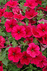 Easy Wave® Berry Velour Petunia (Petunia 'Easy Wave Berry Velour') at Tagawa Gardens