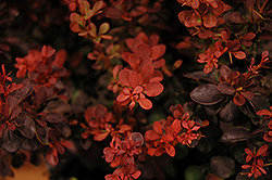 Sunjoy Mini Salsa Japanese Barberry (Berberis thunbergii 'Mimi') at Tagawa Gardens