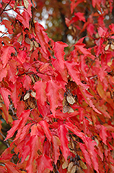 Amur Maple (tree form) (Acer ginnala '(tree form)') at Tagawa Gardens