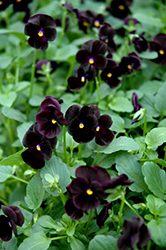 Sorbet Black Delight Pansy (Viola 'Sorbet Black Delight') at Tagawa Gardens