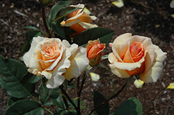 Brandy Rose (Rosa 'Brandy') at Tagawa Gardens