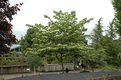 June Snow Giant Dogwood (Cornus controversa 'June Snow-JFS') at Tagawa Gardens