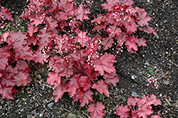 Fire Chief Coral Bells (Heuchera 'Fire Chief') at Tagawa Gardens