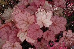 Georgia Peach Coral Bells (Heuchera 'Georgia Peach') at Tagawa Gardens