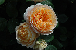 Crown Princess Margareta Rose (Rosa 'Crown Princess Margareta') at Tagawa Gardens