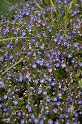 Crystal River Speedwell (Veronica 'Reavis') at Tagawa Gardens