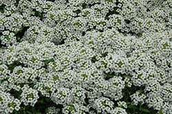 Snow Crystals Alyssum (Lobularia maritima 'Snow Crystals') at Tagawa Gardens