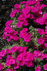 Phloxy Lady Purple Annual Phlox (Phlox 'Phloxy Lady Purple') at Tagawa Gardens