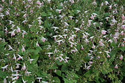 Summer Jewel Pink Sage (Salvia 'Summer Jewel Pink') at Tagawa Gardens
