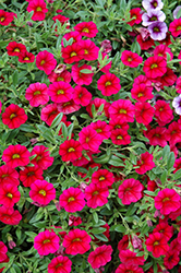 MiniFamous® Neo Cherry Red Calibrachoa (Calibrachoa 'MiniFamous Neo Cherry Red') at Tagawa Gardens