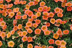 MiniFamous™ Orange Calibrachoa (Calibrachoa 'MiniFamous Orange') at Tagawa Gardens