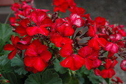 Sarita Sunstar Red Geranium (Pelargonium 'Sarita Sunstar Red') at Tagawa Gardens