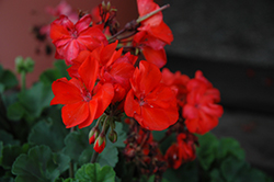 Savannah Oh So Orange Geranium (Pelargonium 'Savannah Oh So Orange') at Tagawa Gardens